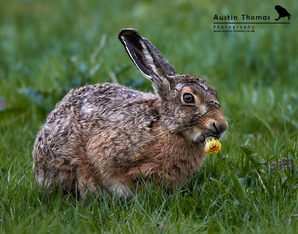 Hare and Yellow Dandelion