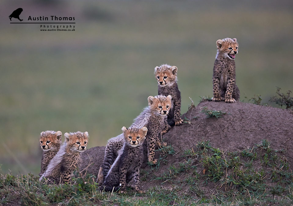 Six cheetah cubs - Austin Thomas Wildlife Photographer in the UK