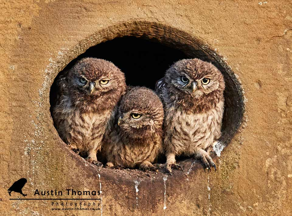 Three Musketeers Owlets - Austin Thomas Photography