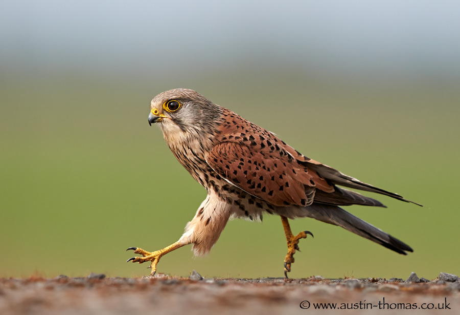 austin-thomas-photography-kestrel