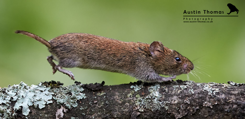 Bank Vole Running photography