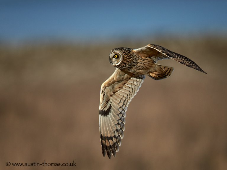 Short Eared Owl Aiming High