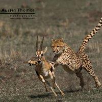 Cheetah Attacking Gazelle Al-Thani Award 2009 Winner International Animals