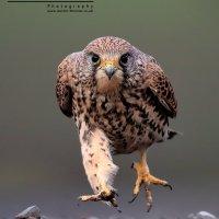 A Kestrel Running BirdGuides Winner 2014