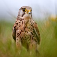 A Kestrel Portrait BWPA Highly Commended