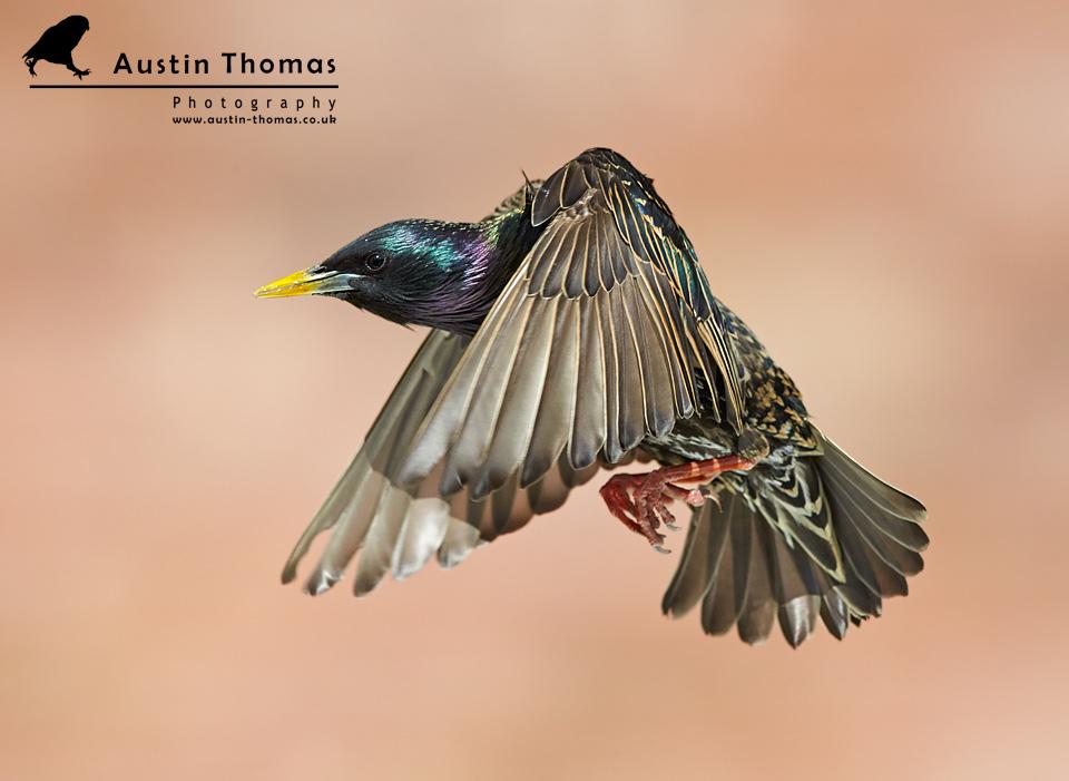 A Starling in flight