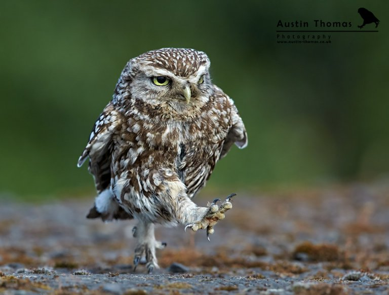 Strolling Little Owl - Austin Thomas Photography