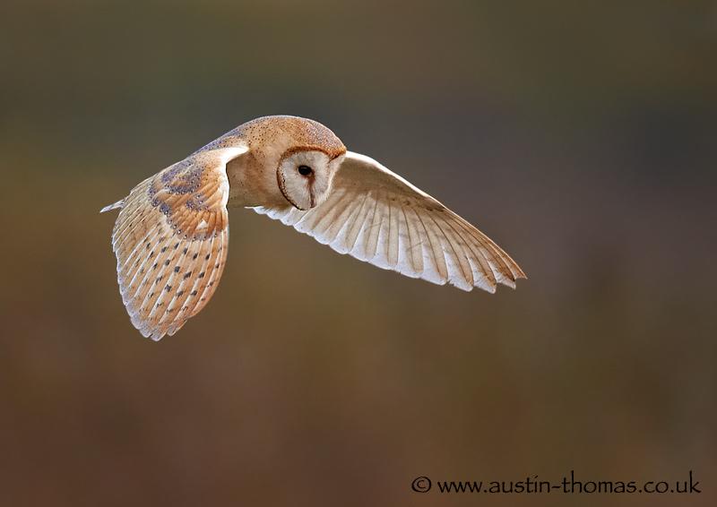 A Barn Owl in flight photograph