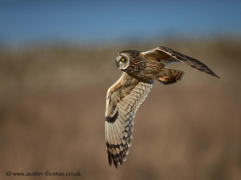 Short Eared Owl Aiming High