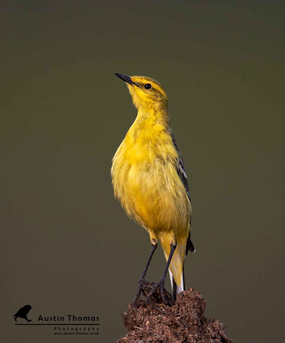 Tallest Yellow Wag Tail